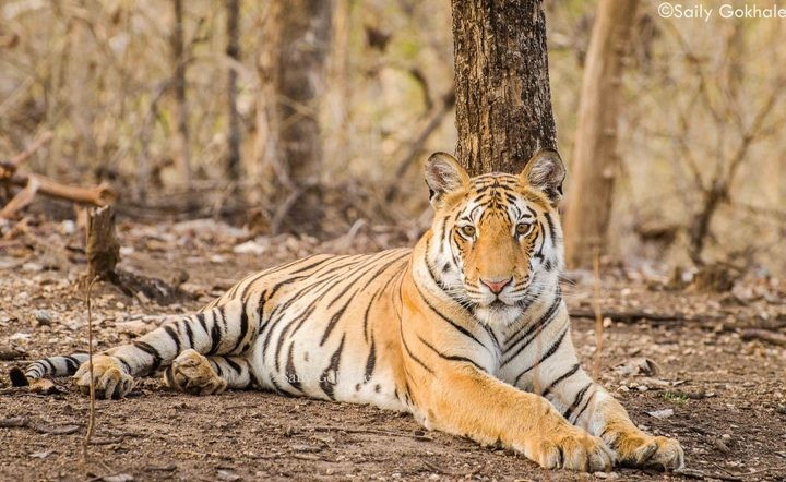 Pench National Park Wildlife Safari Tour Packages Booking
