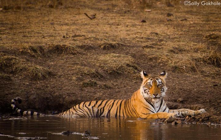 ranthambore national park Kings lodge in bandhavgarh national park is rated among the top hotels due to  its fantastic & beautiful cottages, tiger tour facilities, jeep & elephant safaris.