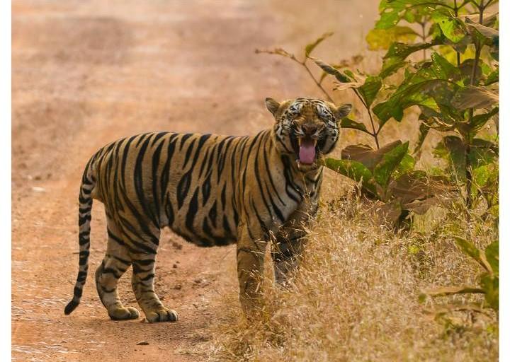 Javan tiger habitat