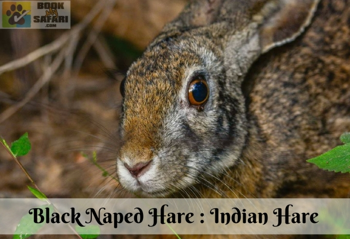 Black Nape Hare - Indian Hare