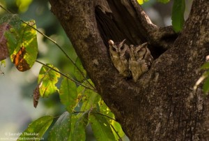 Collared Scops Owl in Gir National Park