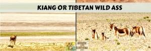 KIANG OR TIBETAN WILD ASS