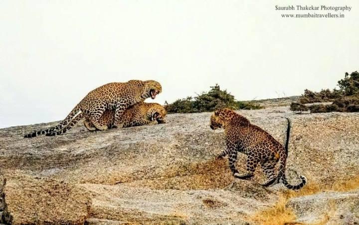 Leopards in Bera