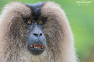 lion tailed macaques expedition