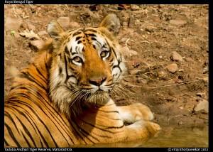 Shivaji Tiger at Tadoba Tiger Reserve