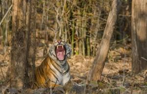 tiger sighting at tadoba