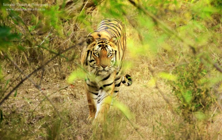 tiger sightings in kanha
