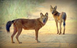 wild dogs sightings at tadoba