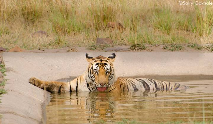bandhavgarh-tiger-safari