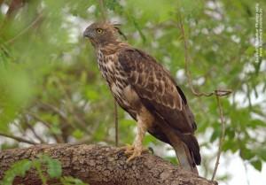 Crested Hawk Eagle at Corbett