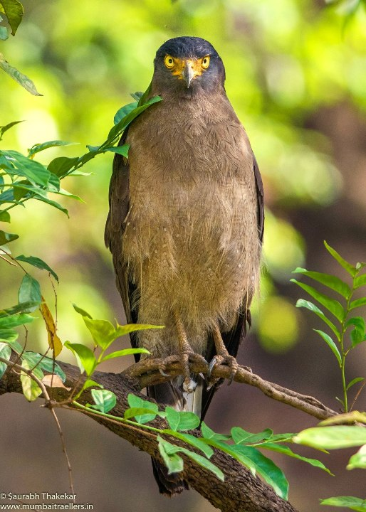 Crested Serpent Eagle at Bandhavgarh National Park (Madhya Pradesh)