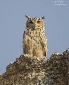 Indian Eagle Owl at Bera Rajasthan