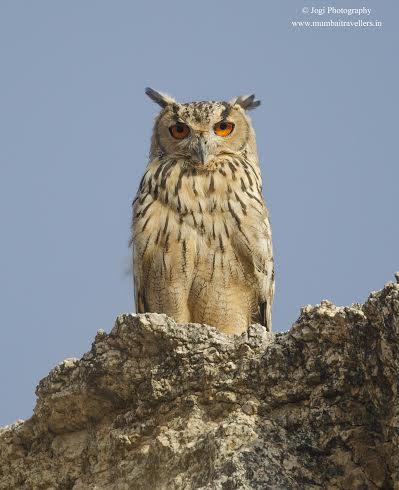 Indian-Eagle-Owl at Bera Rajasthan