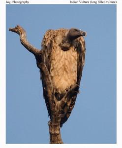 Kanha National Park Indian Billed Vulture