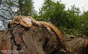 Monitor Lizard at Umred Karhandla