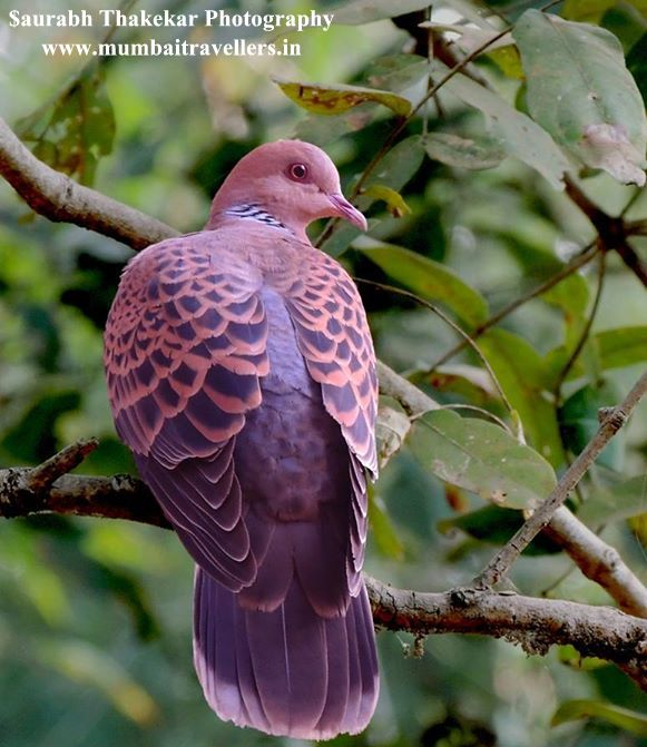 Oriented Turtle Dove at Nagzira Wildlife Sanctuary