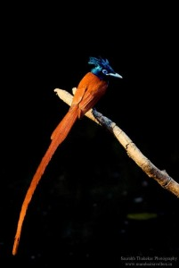 Paradise Fly Catcher Juvenile Male