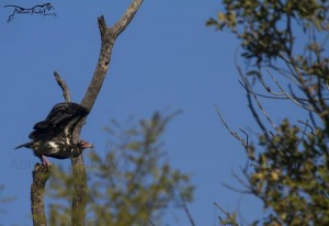red headed vulture at panna national park