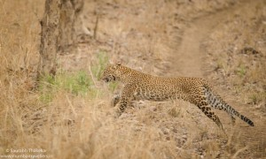 Satpura National Park (Leopard Sighting)