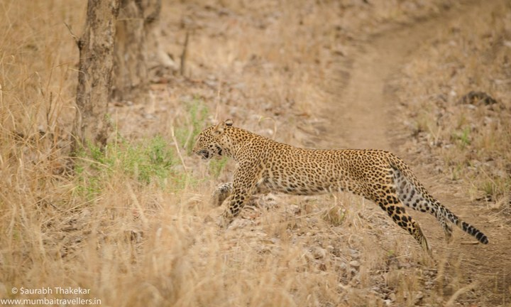 Satpura National Park (Leopard Sighting)