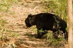 Satpura National park (sloth bear)