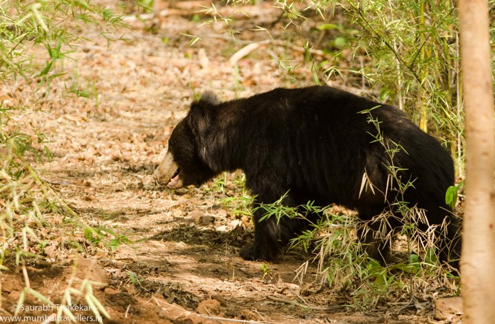 Satpura National park (sloth bear)