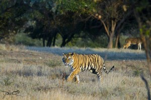 famous tiger in panna