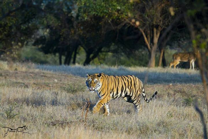 t1-famous-tiger-in-panna