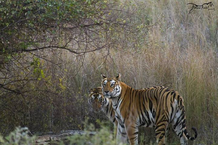 t1-and-cub-at-panna-tiger-reserve