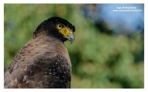 Tadoba Wildlife Safari Crested Serpent Eagle