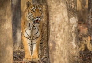 Tigers at Pench National Park