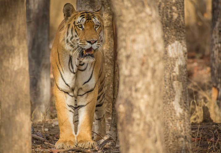 Tigers-at-Pench-National-Park-