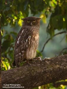 brown fish owl bird in tadoba wildlife safari