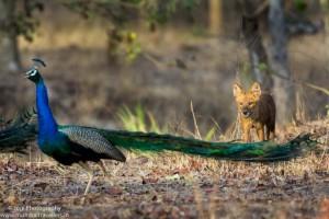 pench national park safari