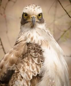 Crested Serpent Eagle Juvenile