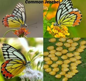 COMMON JEZEBEL