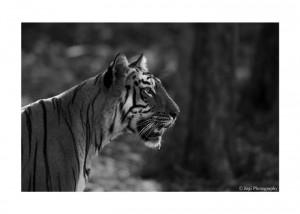 Tiger Safari in India