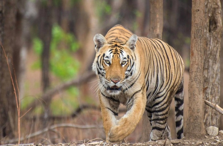 What should you do when you encounter a Tiger on foot in his territory?