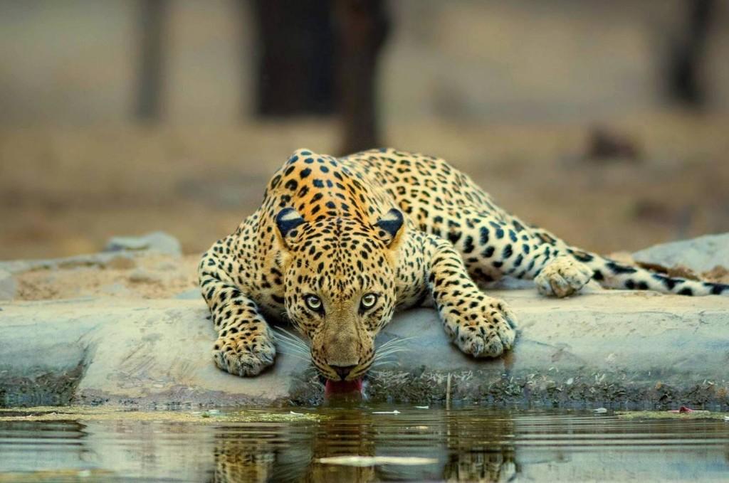 Jhalana Leopard Safari (2)