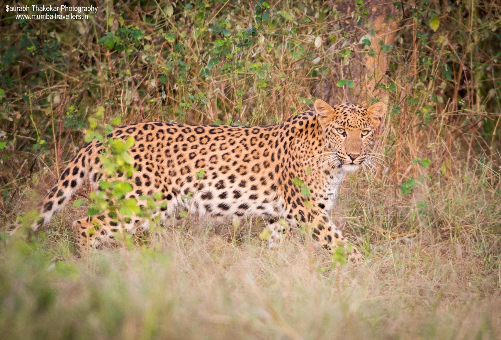 Jhalana leopard safari