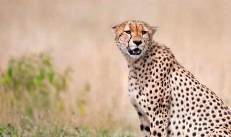 Kenya Masai Mara Cheetah