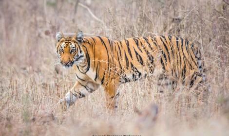 Bandipur Tiger - Jan 2019 -01