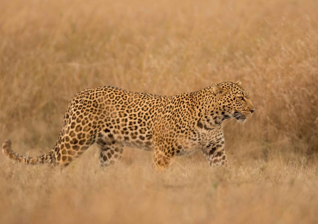 KMMSP - African Leopard at Masai Mara